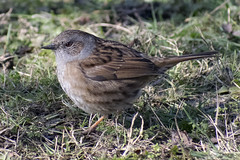 """dunnock2 • <a style=""""font-size:0.8em;"""" href=""""http://www.flickr.com/photos/157241634@N04/25613972937/"""" target=""""_blank"""">View on Flickr</a>"""