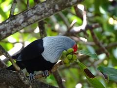 Seychelles blue pigeon, Praslin