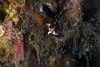 Juvenile warty frogfish - Antennarius maculatus (prilfish) Tags: wartyfrogfish clownfrogfish antennariusmaculatus juvenile froschfisch angler anglerfish anglerfisch indonesia bali tulamben indonesien underwater scuba unterwasser karangasem dive diving tauchen