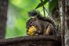 Esquilo. (tommarinho) Tags: photo roedor animal natureza nature squirrel mg inhotim esquilo