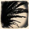 Palm (Alex . Wendes) Tags: palm palmtree tokina1116mm tokina1116 d7000 nikond7000 alienskin exposurex3 texture border
