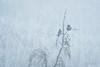 Snow birds (grahamvphoto) Tags: snow tree birds animals nature wildlife travel canada jasper nationalpark alberta couple two