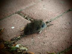 Maus - Opfer (Pico 69) Tags: tod maus getötet tot pico69