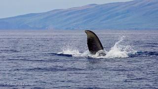 Maui Humpback Whale Thunder Clap