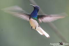 _DSC6829.jpg (Augusto Ilian G) Tags: alejandria colibries pajaros