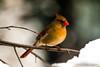 Mrs Cardinal visits again today (langdon10) Tags: bird canada canon70d cardinal novascotia cold outdoors snow winter ngc