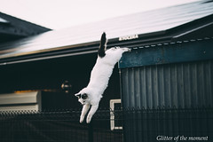2017 01 22 - 161601 0 Canon EOS 5D Mark III (ONLINED1782A) Tags: vsco vscofilm popular cat jumping white ねこ 猫 白猫 ジャンプ canoneos5dmarkiii sigma50mmf14dghsmart photography photo outdoor jump