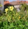 Oxalis (sweetpeapolly2012) Tags: flowers leaves petals gorse oxalis bergenia pink yellow gardenflower garden inthegarden
