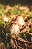 _side by side (Joana Rieck) Tags: fungus mushroom mushrooms outdoor nature natur canon 600d 50mm leaves blätter autumn fall herbst dawn sun warmth daisy gänseblümchen grass field woods forest