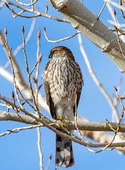 Sharp-Shinned Hawk (Ed Sivon) Tags: america canon nature lasvegas wildlife wild western southwest desert clarkcounty clark vegas bird birdofprey nevada nevadadesert park