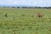 Kenia - 850_5644.jpg (Marc's Stream) Tags: hyaena kill kenya vulture ken gepard geier narok kenia cheetah hyäne masaimara