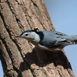 White-breasted Nuthatch thumbnail