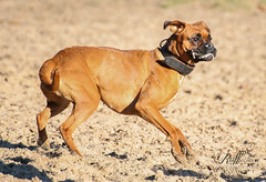 Silly Boxer (RUFFlections Photography) Tags: dog dogphotography canoneos eos400d sillyface actionphotography boxer