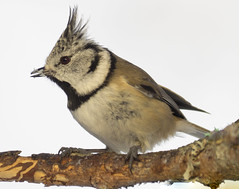 P1280185 (turbok) Tags: haubenmeise meise tiere vögel wildtiere c kurt krimberger