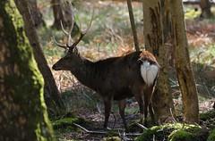 Sika Deer - Cervus nippon - Arne RSPB Dorset -020417 (6) (ailognom2005) Tags: sikadeer cervusnippon arnerspbdorset arnerspbreserve rspb dorset dorsetwildlife mammals stag mammal wood