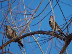 Northern Flickers (Boulder Flying Circus Birders) Tags: northernflicker colaptesauratus northernflickercolorado northernflickerboulder wildbirdboulder wildbirdcolorado wildbirdcompany formerwildbirdcenter notwildbirdsunlimited birdseed birdwalk saturdaymorningbirders twinlakes bouldercountyparksandopenspace gunbarrel colorado clarkanderson