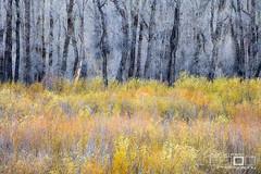 Wetland Layers (Adrian Klein) Tags: adrianklein grand teton national park yellow black abstract shrubs trees tail ponds marsh wetland layers wyoming