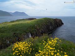 Bird rock Borgarfjorðarhöfn (dieLeuchtturms) Tags: lunde borgarfjörðurhöfn fjord alkenvögel 2x3 meer küste austurland regenpfeiferartige island ostfjörde 4x3 wirbeltiere borgarfjorðureystri europa papageitaucher eastfjords europe fraterculaarctica iceland coast puffin sea shore is