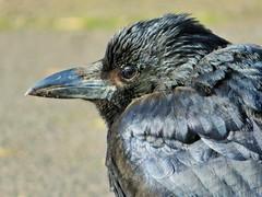 """Waiting for Mum"" (seanwalsh4) Tags: bird fauna crow blackbird young fledgling portrait nature cute nice eastvillepark canon bristol black sundaysfauna 12022018"