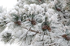 Snow Cones (catmccray) Tags: frost pine tree pinetree pinecone