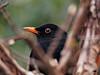 P2141216_DxO (lucventurini1) Tags: backyard blackbird portrait bird birding