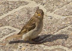 IMG_6729 (Lightcatcher66) Tags: spatzensparrows florafauna makros lightcatcher66