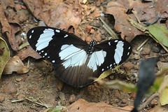 IMG_5905 Amauris niavius niavius (Raiwen) Tags: nymphalidae danainae insect butterfly africa westafrica guinea guinéeforestière amauris amaurisniavius