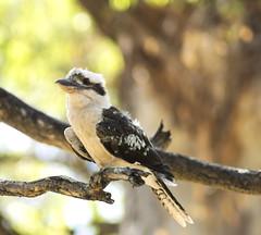 Laughing Kookaburra (|Sarah|) Tags: kookaburra animal bird wildlife southaustralia australia adelaide salisbury photography
