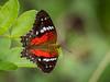 Borboleta-vermelha (Anartia amathea) Scarlet Peacock (Eden Fontes) Tags: borboletavermelha borboletasemariposas fazendanossasenhoradasneves carnaval2018 vassouras anartiaamathea rj scarletpeacock butterfliesandmoths invertebrados