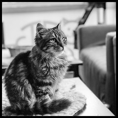 A portrait of fluff - @cat_lounge_dublin (LeRouxster) Tags: pets blackwhite blackandwhite bnw fluff travelphotography travel cafe lounge catloungedublin ireland dublin portrait iphonex iphone mobilephotography iphoneography shotoniphone fur kitten cats cat