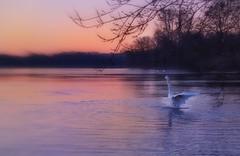 Shake the night off... (mabumarion) Tags: lake lakeside water silhouettes pleasure joyfull firstlight daybreak colors dewittsee coldcoldcold shakeoff swan morning sunrise