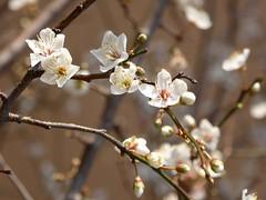contrasti (fotomie2009) Tags: pruno prunus wild wildflower nature fiore flower flora white