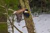 Mature Flyby (John Kocijanski) Tags: eagle baldeagle bird birdofprey animal raptor wildlife nature canon70300mmllens canon7d