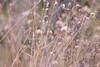 Fairy Field (Sumarie Slabber) Tags: botanical nature sumarieslabber pink grass weeds flora