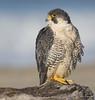My Good Side (vishalsubramanyan) Tags: falcon peregrinefalcon peregrine raptor birdofprey gulls lof ocean nikon 300f4 14tc d500 wildlife nature wildlifephotography naturephotography california