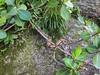 Jiboia (Boa constrictor constrictor) (Eden Fontes) Tags: riodejaneiro urca boaconstrictorconstrictor pistaclaudiocoutinho jiboia rj morrodaurca praiavermelha reptiles