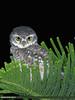 Spotted Owlet (Athene brama) (gilgit2) Tags: avifauna birds canon canoneos7dmarkii category fauna feathers g9 geotagged imranshah islamabad location pakistan species spottedowletathenebrama tags tamron tamronsp150600mmf563divcusd wildlife wings gilgit2 athenebrama