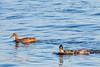 2018 01 13 - Lock and Dam 14-357.jpg (mh803) Tags: lockanddam14 duck wildlife nature waterfowl mallardduck iowa leclaire unitedstatesofamerica animal waterduck wild