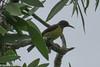 Anthreptes malacensis (Brown-throated Sunbird) (GeeC) Tags: animalia anthreptes anthreptesmalacensis aves birds brownthroatedsunbird cambodia chordata kohkongprovince nature nectariniidae passeriformes passerines sunbirds tatai