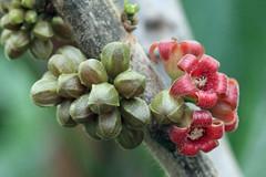 Cola caricifolia (G. Don) K. Schum. - BG Meise (Ruud de Block) Tags: meisebotanicalgarden nationaleplantentuinmeise jardinbotaniquemeise ruuddeblock malvaceae colacaricifolia