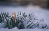Winter for one Day (ursulamller900) Tags: trioplan2950 crocus krokus winter mygarden bokeh snow schnee