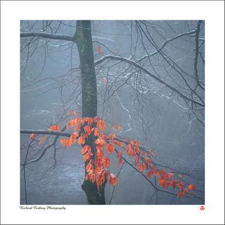 Leaf Marcescence
