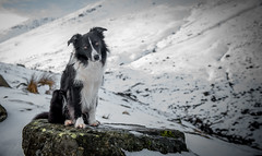 Dog on a Rock (JJFET) Tags: border collie dog sheepdog