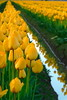 Skagit Valley Tulip Festival 2015 #10 (Aneonrib) Tags: washington state tulips mount vernon wa sun sunset flowers roozengaarde april tulip festival annual skagit valley spring northwest county evening landscape field flowerbed plant flower outdoor reflection row yellow green