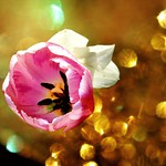 Orillia Ontario -  Canada - Leacock Museum ~ Botanical Gardens - Tulips - Bokehs thumbnail