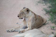 Southern African Lioness (Jim Nicholson) Tags: lion lioness nikon d850 nikond850 nikkor80400mmf4556 za southafrica kruger thornybush pantheraleomelanochaita pantheraleo big5