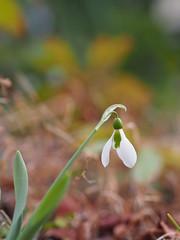 スノードロップ (Polotaro) Tags: mzuikodigital45mmf18 flower nature olympus epm2 pen 花 自然 オリンパス ペン スノードロップ garden 庭 2月