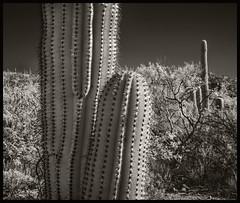 Sabino Canyon IR #16 2018; Brothers (hamsiksa) Tags: arizona tucson pimacounty desert sonorandesert bajada sabinocanyon coronadonationalforest plants flora desertplants xerophytes succulents cacti cactus saguaros cactaceae carnigieagigantea landscape scenic southwest infrared digital