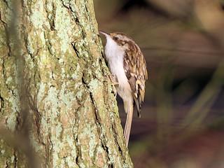 Treecreeper (2)