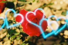 Red (Luft) (goodfella2459) Tags: nikon f4 kono luft 200 35mm c41 film analog colour specialty rose flower hearts petrella guidi italy
